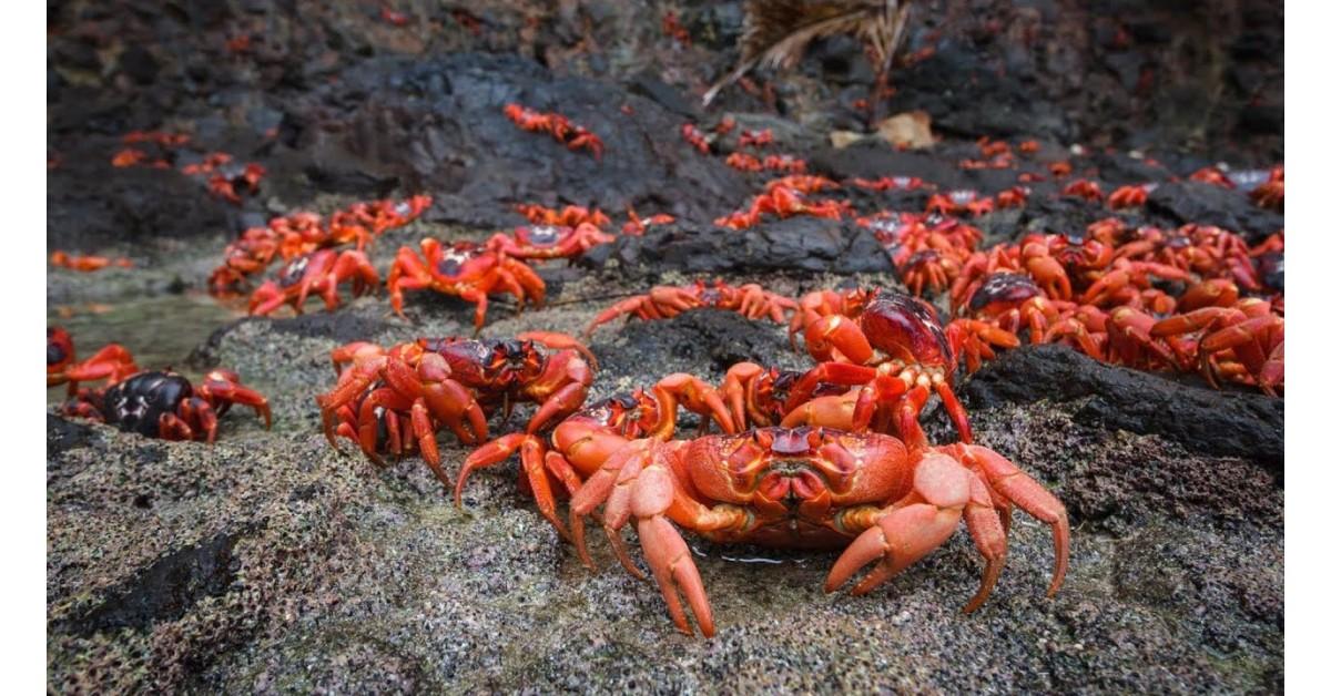 Đảo Christmas: Thiên đường của loài cua